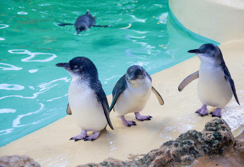 Fairy пингвины на острове пингвина стоковая фотография rf