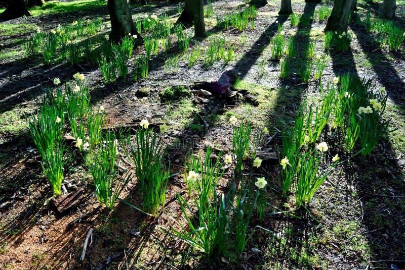 Fairy circle of daffodils stock image