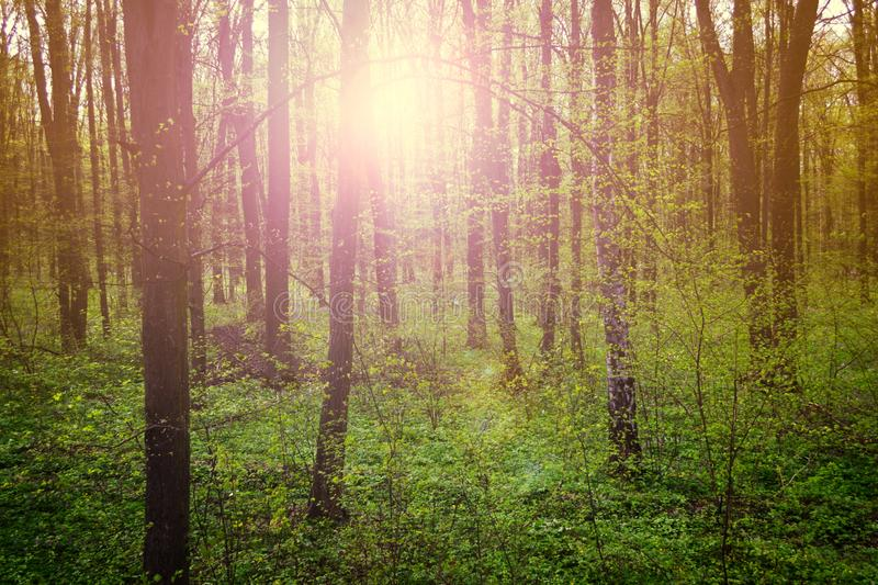 Fairy forest. Nature landscape green forest on spring sunset stock photography