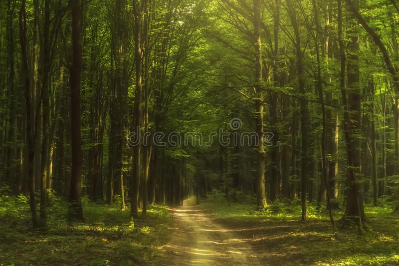 Fairy forest at sunrise. Green trees wit a fog. Mystery background. royalty free stock images