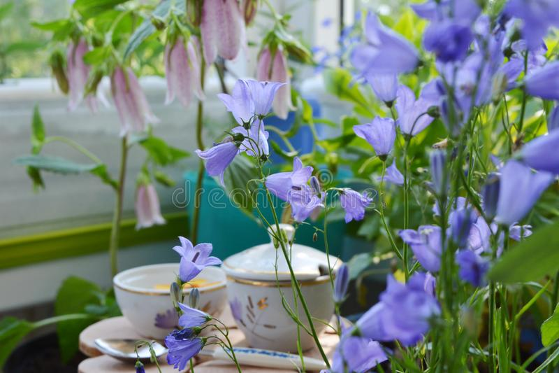 Fairy garden with blooming bellflowers. Beautiful violet flowers of campanula on blurred background. Fairytale in home royalty free stock photography