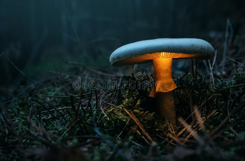 Fairy, glowing mushroom in the forest stock image
