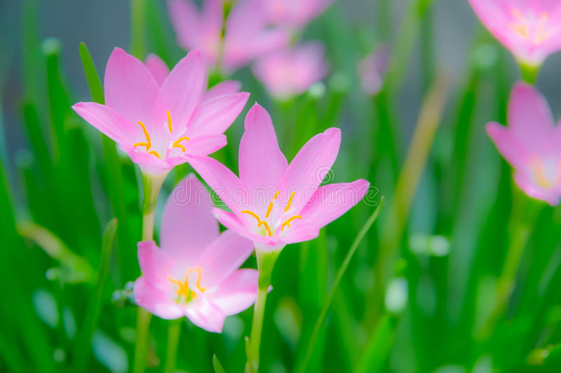 Fairy Lily flower blur background royalty free stock image