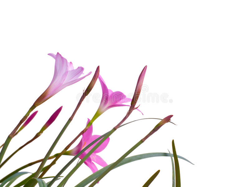Download Fairy Lily flowers stock image. Image of beautiful, abstract - 26337531