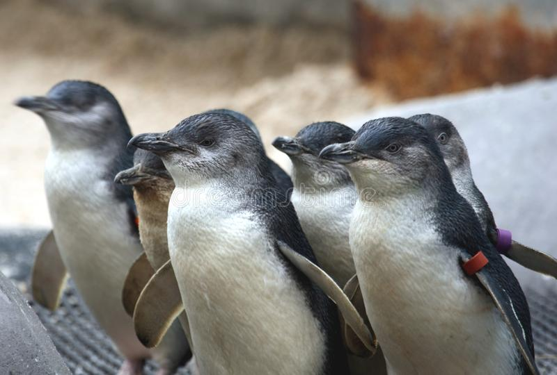 Fairy Penguins (Eudyptula Minor) stock photos