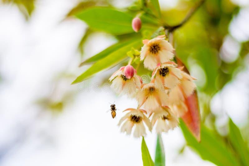 Fairy Petticoat, Lily of the Valley Tree (Elaeocarpus grandiflorus Sm.) flowers and flying bee in urban park, Bangkok, stock photos