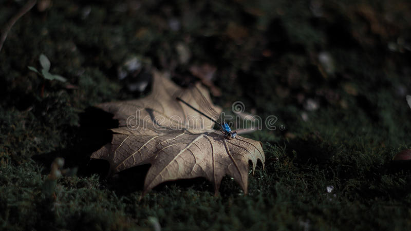 Fairy tale Dragonfly royalty free stock photo