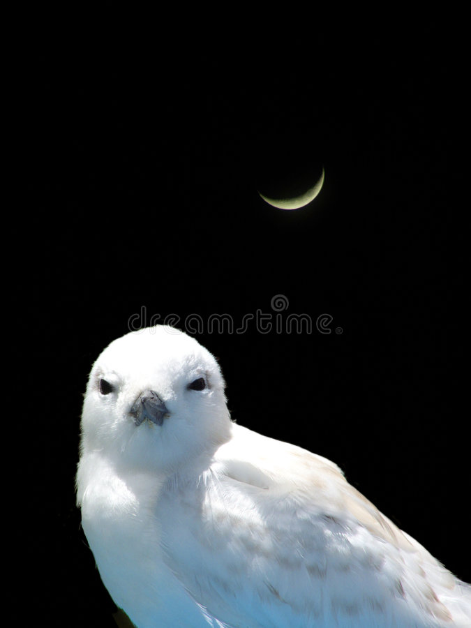 Download Fairy Tern stock image. Image of threatened, night, tern - 2532871