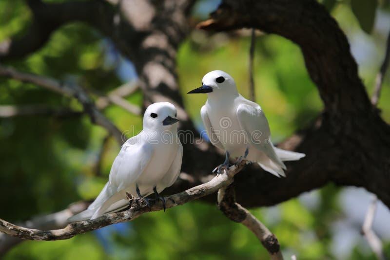 White fairy tern bird couple stock photos