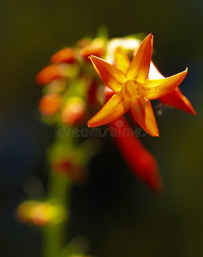 Fairy Trumpet royalty free stock image