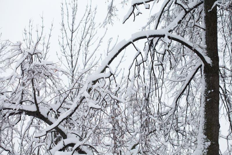 Fairytale, flauschig schneebedeckte Baumzweige nach Schneefall Schöner Winterpark im Freien, Gruß stockfoto