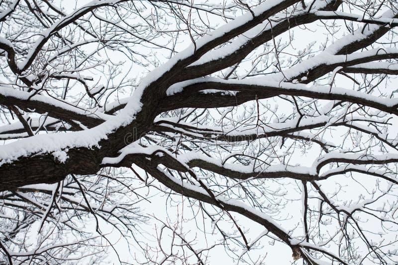 Fairytale, flauschig schneebedeckte Eichenholzzweig nach Schneefall Schöner Winterpark im Freien, Gruß stockbild