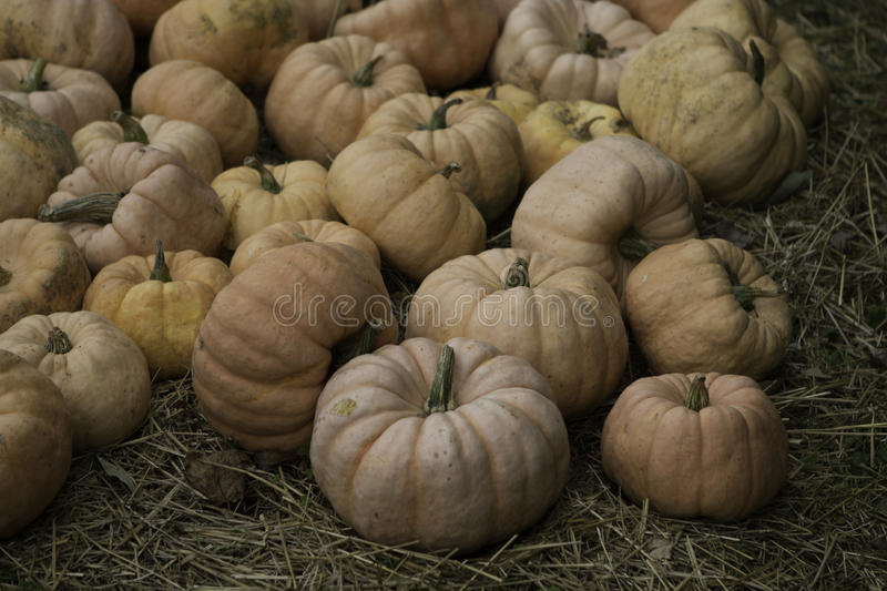 Fairytale Pumpkin. S at a you pick pumpkin patch stock photography