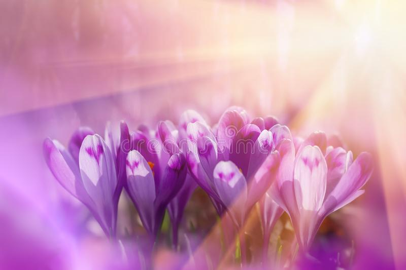 Fairytale sunlight on spring flower crocus. View of magic blooming spring flowers crocus growing in wildlife. Majestic colors of stock photos