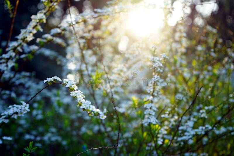 Fairytale weinig witte bloem van spiraeathunbergii onder het zonlicht royalty-vrije stock afbeeldingen