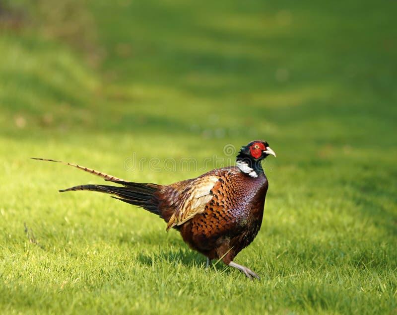 Faisão do galo em produzir a plumagem fotos de stock