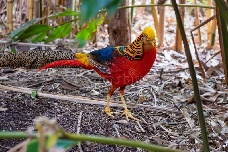 Faisão dourado masculino brilhantemente colorido fotografia de stock