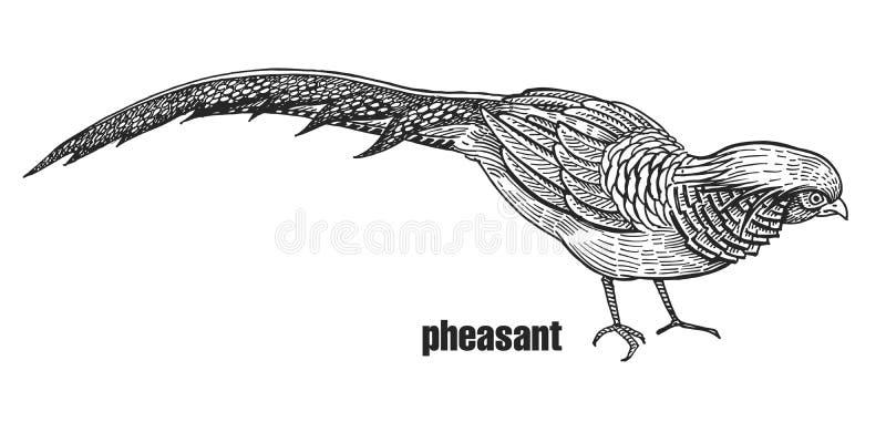 Faisão realístico do pássaro Gráficos preto e branco ilustração stock