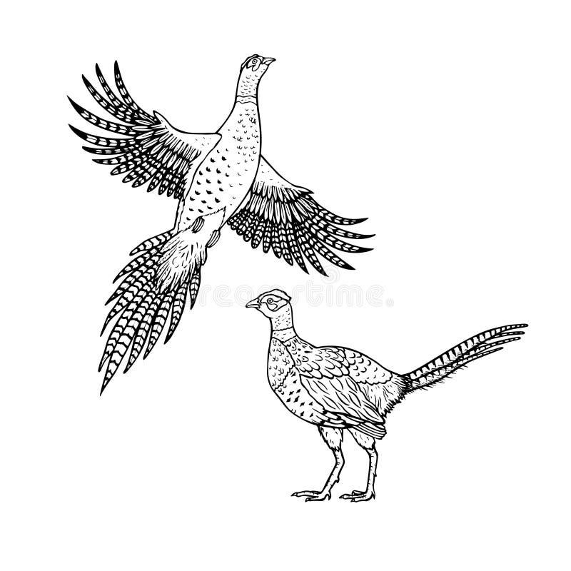 Faisão tirado mão estilo linear A lápis desenho do vetor ilustração do vetor
