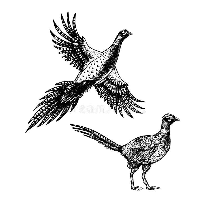 Faisão tirado mão Skethes dos pássaros Ilustração do vintage do vetor ilustração royalty free