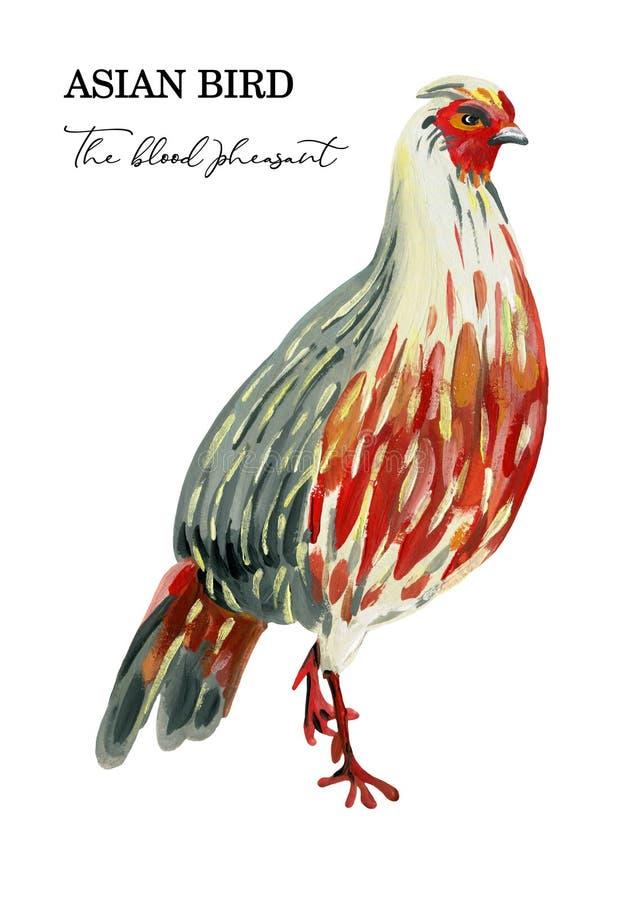Faisão vermelho pintado à mão em um fundo branco ilustração royalty free