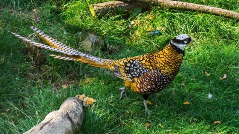 Faisan masculin de premiers magistrats marchant dans l'herbe en plan rapproché, un bel oiseau des forêts de porcelaine photo stock