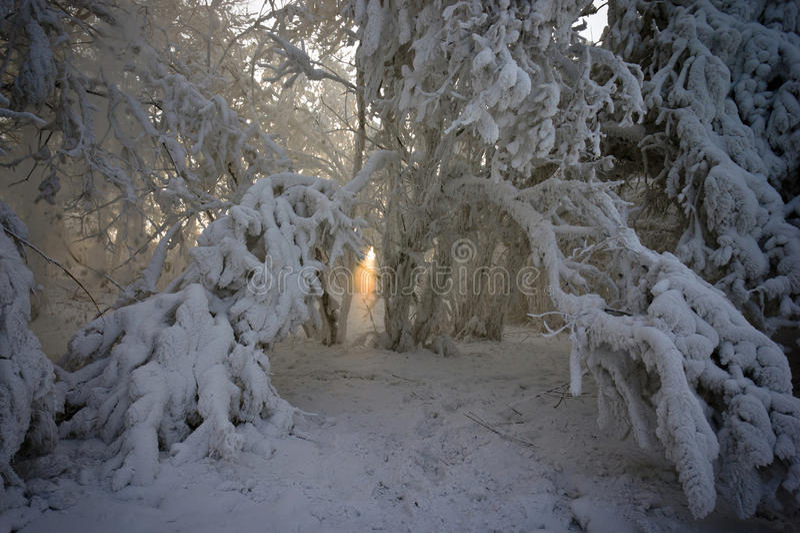 Faisceau de lumière entre les branchements couverts de neige photo stock