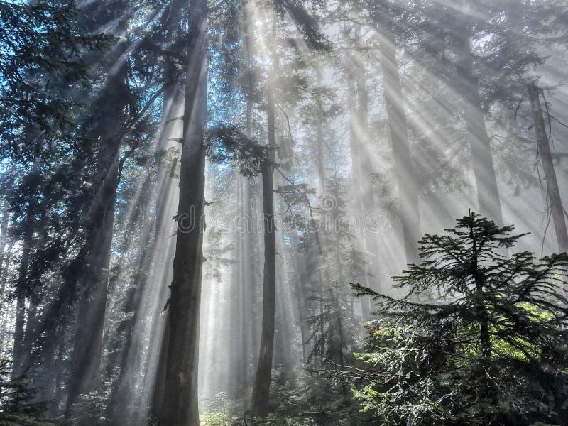 Faisceaux de lumière du soleil par la forêt photos stock