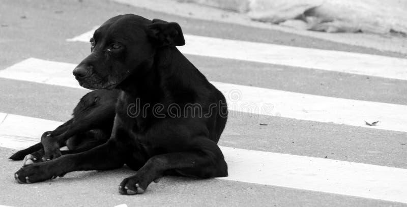 Faixa de travessia preta do cão da rua imagens de stock royalty free