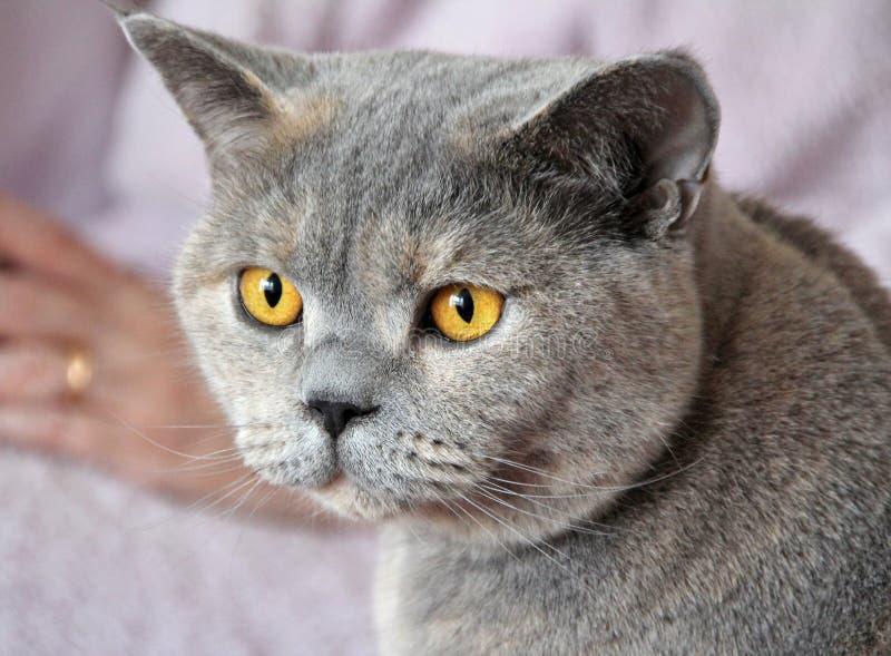 Faixa do gato do luxo do ouro fotos de stock royalty free