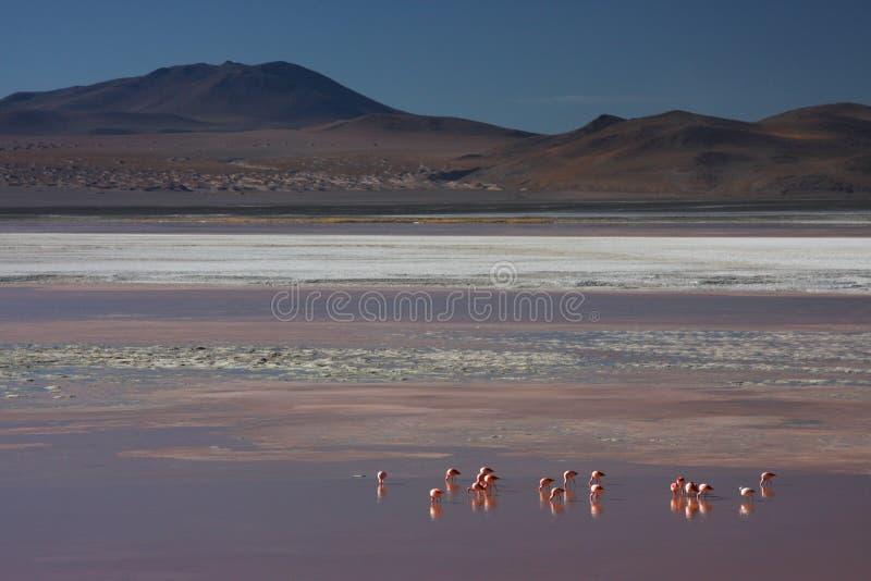 Faixa e flamingos do bórax em Laguna Colorada foto de stock