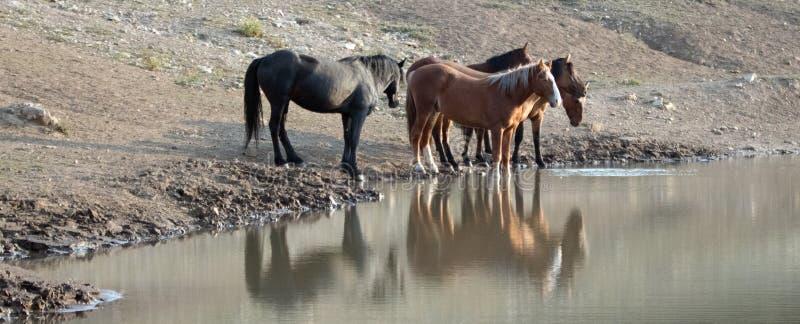 Faixa/rebanho pequenos dos cavalos selvagens que bebem no waterhole na escala do cavalo selvagem das montanhas de Pryor em Montan imagens de stock royalty free