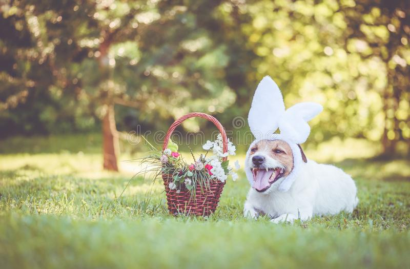 Faixa vestindo das orelhas do coelho do cão com a cesta da Páscoa enchida com as hortaliças e as flores foto de stock