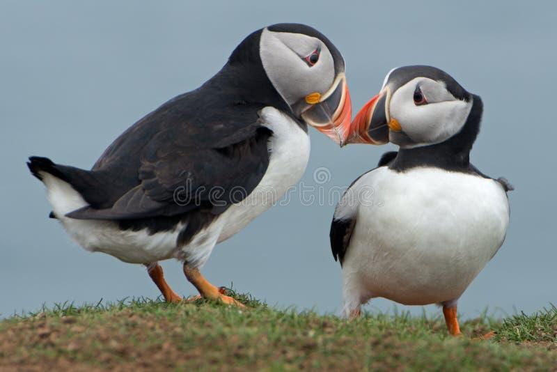 Fakturera för lunnefåglar royaltyfri foto