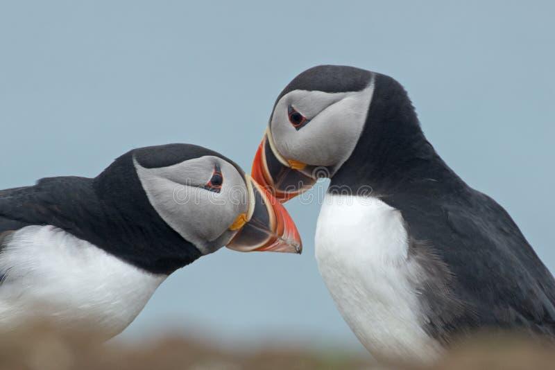 Fakturera för lunnefåglar royaltyfria bilder