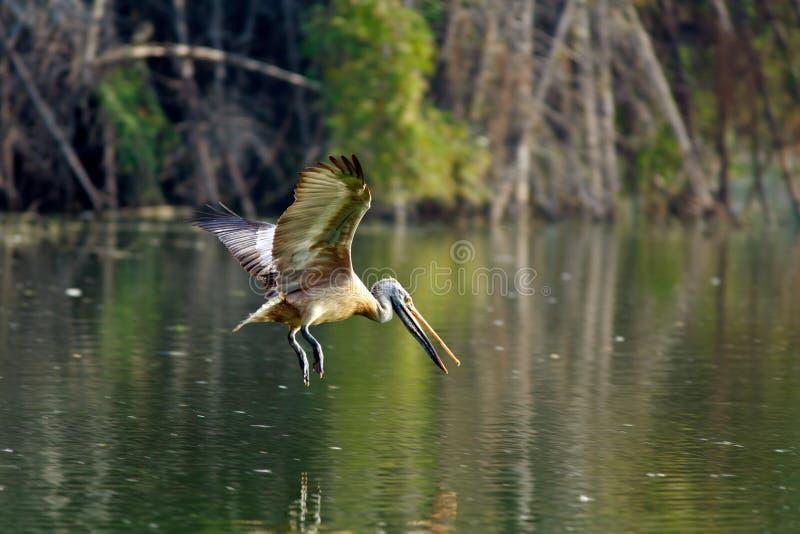fakturerad pelikanfläck arkivbild