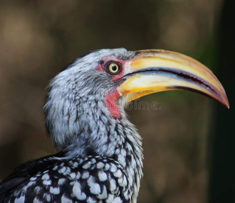fakturerad sydlig yellow för hornbill arkivfoto