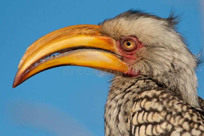 fakturerad sydlig yellow för hornbill royaltyfria bilder