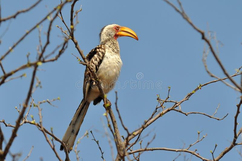 fakturerad sydlig yellow för hornbillkrugernp söder arkivfoto