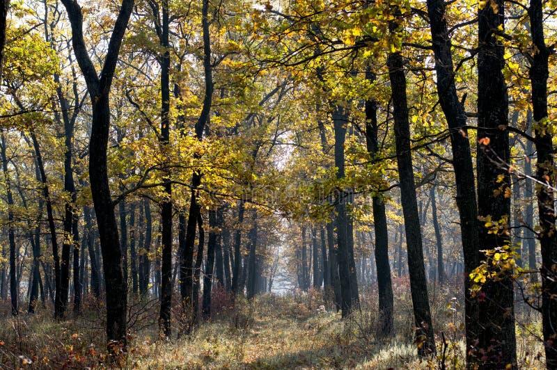 fal的年轻橡木树丛 库存照片