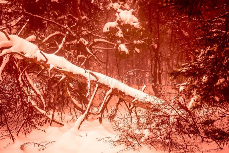 Fal drammatico di Natale della foresta nevosa misteriosa fantastica di inverno immagine stock