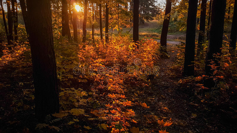Fal forest. At sunrise time royalty free stock photography