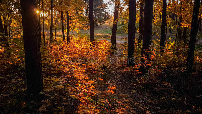 Fal forest. At sunrise time stock images