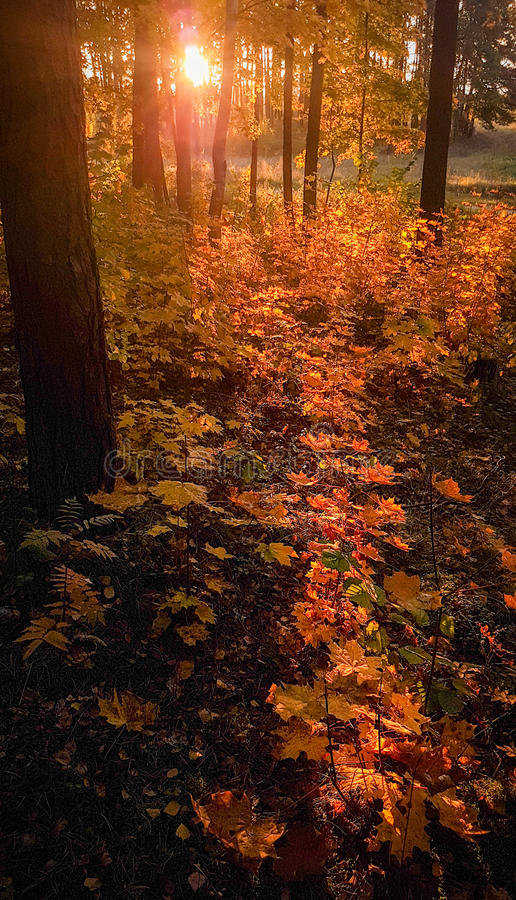 Fal forest. At sunrise time, vertical image royalty free stock photos