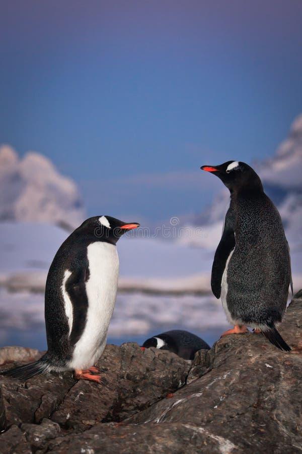Fala de dois pinguins foto de stock royalty free