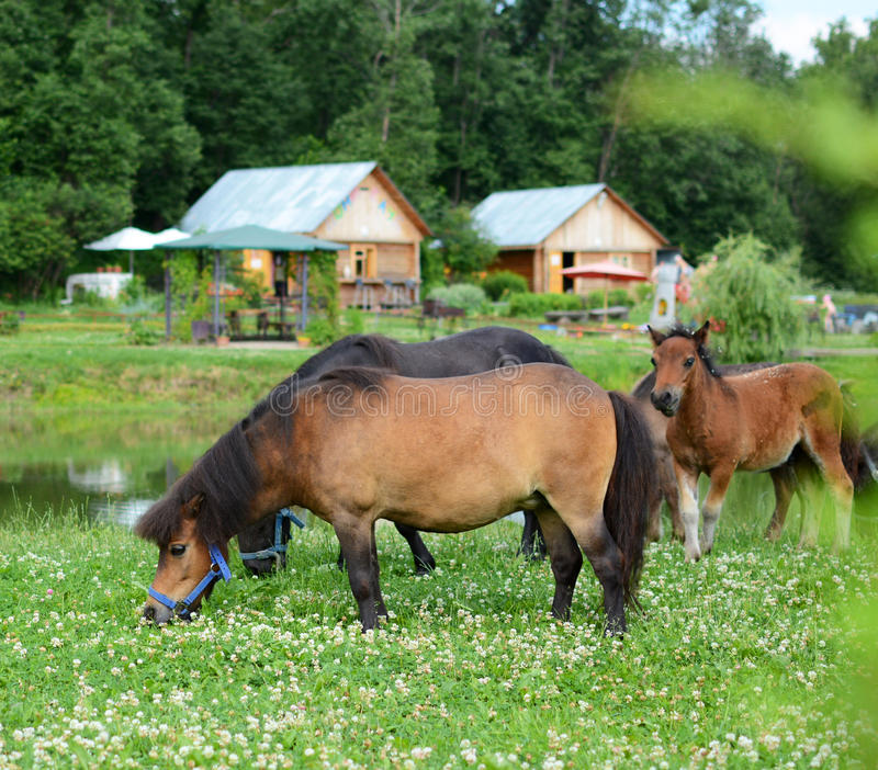 Download Falabella Foal Mini Horses Grazing On A Green Meadow, Selective Stock Image - Image: 31968469