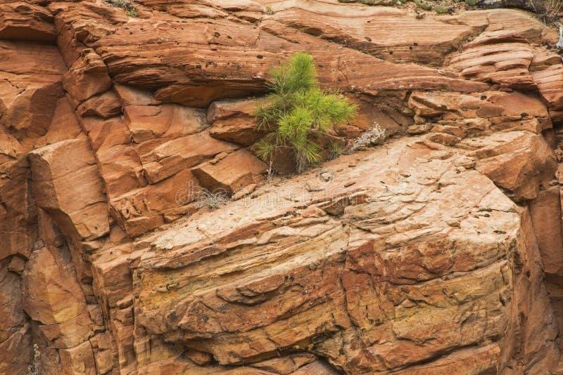 Falaise rouge de formation de roche de petit arbre photographie stock
