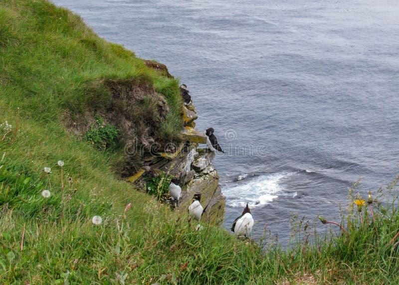 Falaises d'oiseau au trabjarg de ¡ de LÃ, point plus à l'ouest de l'Islande photos libres de droits