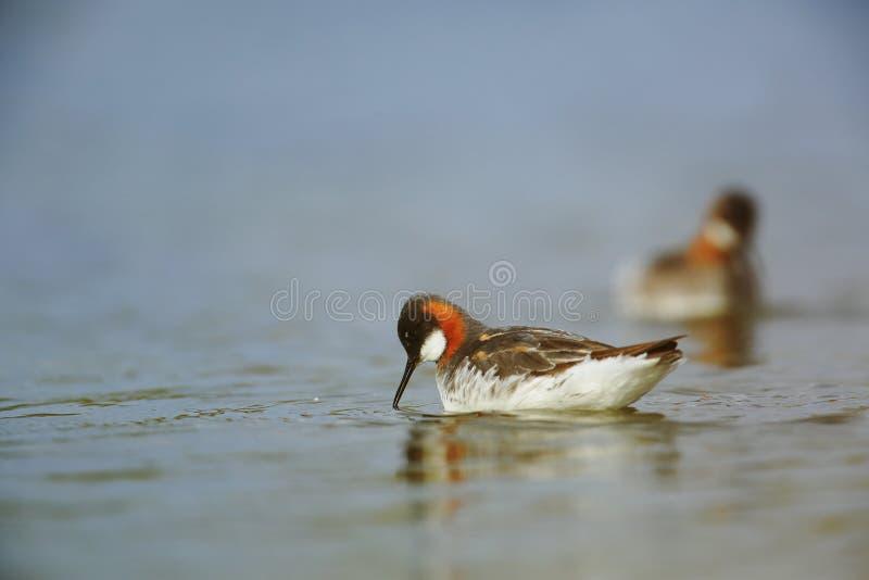 Falaropo de cuello rojo en la alimentación del lago fotografía de archivo libre de regalías