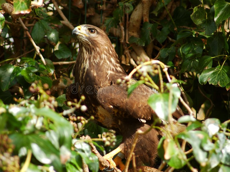 Download Falcão. foto de stock. Imagem de árvore, plume, verde, predator - 109476